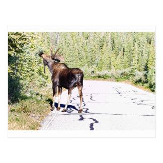 Bull Moose Munching in The Road Postcard