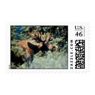 Bull moose stamps