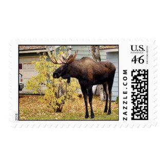 Bull moose postage stamp