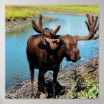 Bull Moose Poster Print