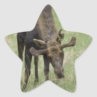 Bull Moose Stickers