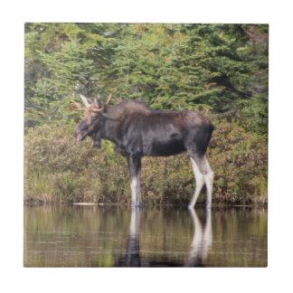 Bull Moose Tile