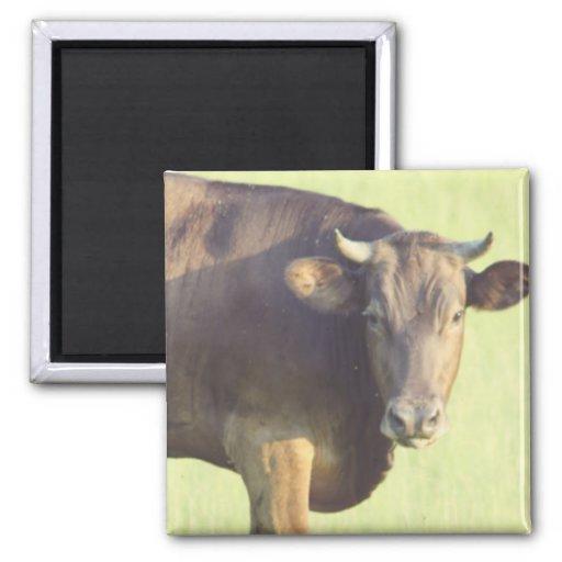 Bull que mira el imán