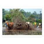 Bull racing in the mud post cards