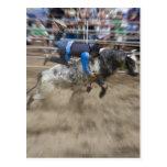 Bull rider thrown off bull postcard