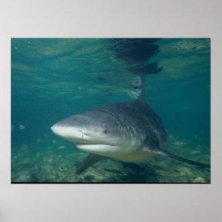 Bull Shark - Carcharhinus leucas Poster