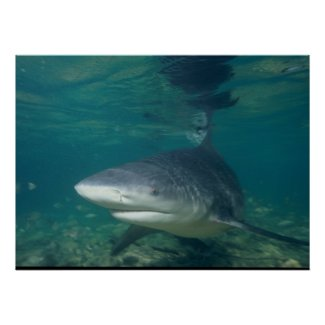 Bull Shark - Carcharhinus leucas Posters