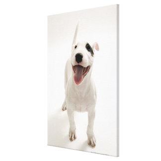 Bull terrier alegre lona envuelta para galerías
