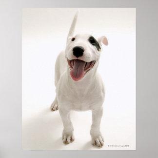 Bull terrier alegre posters