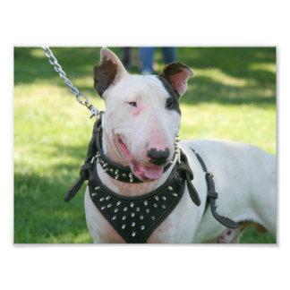 Bull Terrier dog Photo