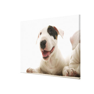 Bull Terriers Canvas Print