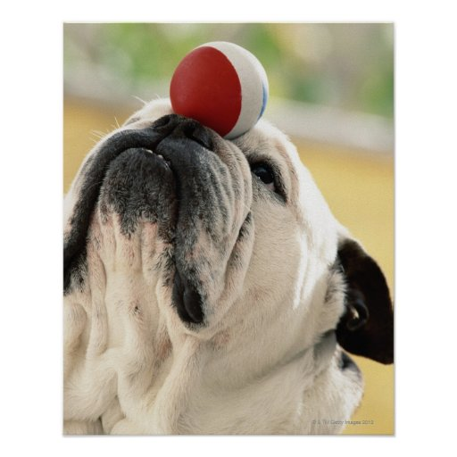 Bulldog balancing ball on snout, close-up poster