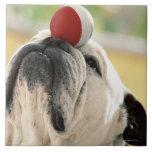 Bulldog balancing ball on snout, close-up tile