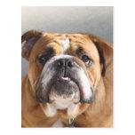 Bulldog Face - English Bulldog, Brown Postcard