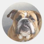 Bulldog Face - English Bulldog, Brown Classic Round Sticker