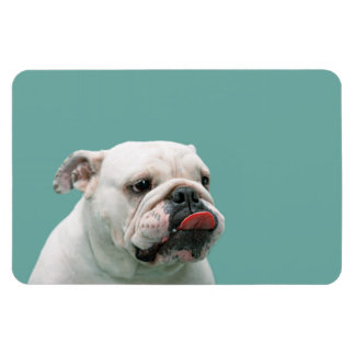 Bulldog funny face with tongue sticking out, gift magnet