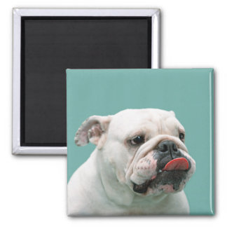 Bulldog funny face with tongue sticking out, gift magnets