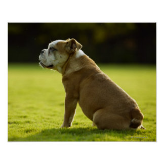 Bulldog in field poster