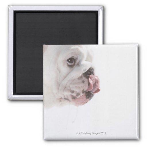 Bulldog Licking 2 Inch Square Magnet