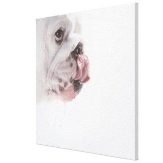 Bulldog Licking Canvas Print