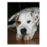 Bulldog-Mastiff Mix Photo Postcard