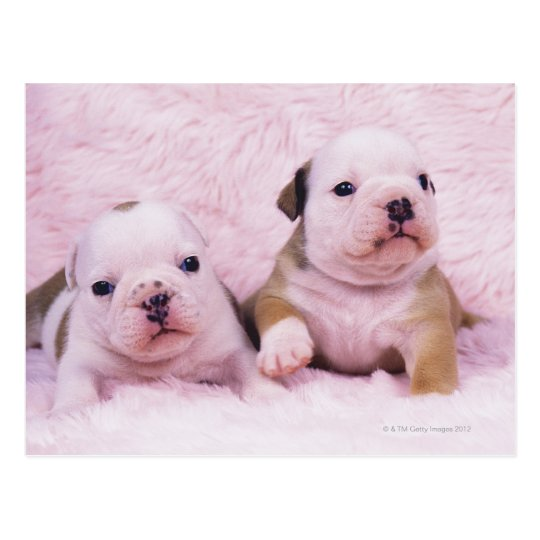 Bulldog; often called the English Bulldog. Is a Postcard
