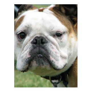 Bulldog Photo Postcard