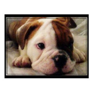Bulldog puppy postcards