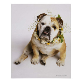 Bulldog with flower collar poster