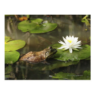 Bullfrog in Lily Pond Postcard