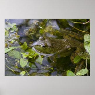 Bullfrog Print