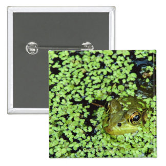 Bullfrog (Pyxicephalus adspersus) in duckweed Button