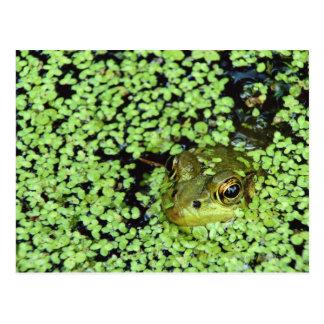 Bullfrog (Pyxicephalus adspersus) in duckweed Postcard