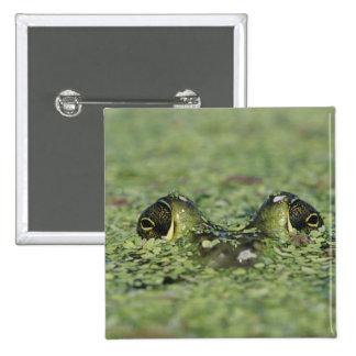 Bullfrog, Rana catesbeiana, adult in duckweed Button