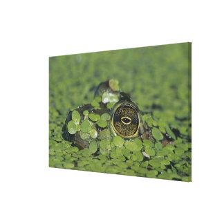 Bullfrog, Rana catesbeiana, adult in duckweed Canvas Print