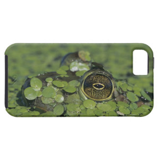 Bullfrog, Rana catesbeiana, adult in duckweed iPhone SE/5/5s Case