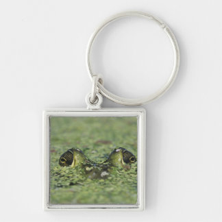 Bullfrog, Rana catesbeiana, adult in duckweed Silver-Colored Square Keychain