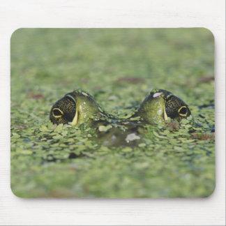 Bullfrog, Rana catesbeiana, adult in duckweed Mouse Pad