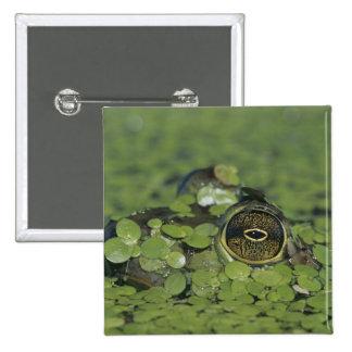 Bullfrog, Rana catesbeiana, adult in duckweed Pinback Button