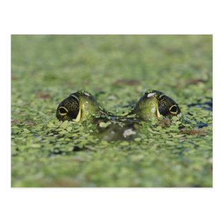 Bullfrog, Rana catesbeiana, adult in duckweed Postcard