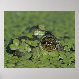 Bullfrog, Rana catesbeiana, adult in duckweed Poster