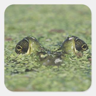 Bullfrog, Rana catesbeiana, adult in duckweed Square Sticker