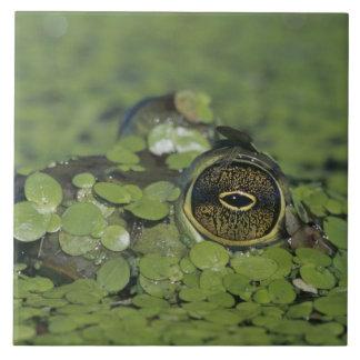 Bullfrog, Rana catesbeiana, adult in duckweed Tiles