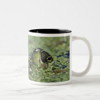 Bullfrog, Rana catesbeiana, adult in duckweed Two-Tone Coffee Mug