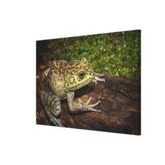 Bullfrog, Rana catesbeiana Canvas Print