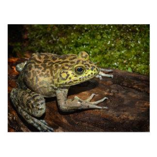 Bullfrog, Rana catesbeiana Postcard