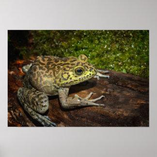 Bullfrog, Rana catesbeiana Poster