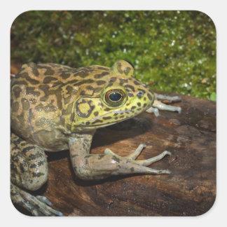 Bullfrog, Rana catesbeiana Square Sticker