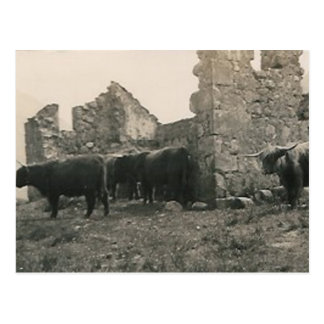 bulls at ruins postcard
