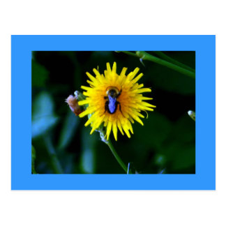 Bullseye Bumble Bee Dandelion Postcard